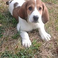 Adopt A Pet :: Othello - Fenton, MO