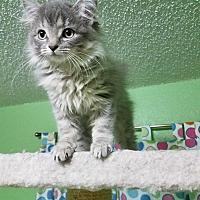 Adopt A Pet :: Scarlet Witch - Edmond, OK