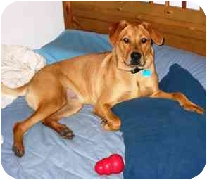 Labrador Retriever/Rhodesian Ridgeback Mix Dog for adoption in Portsmouth, Rhode Island - Monty