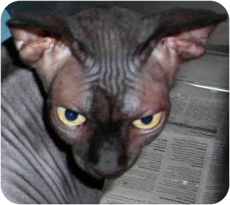 Sphynx Cat for adoption in Davis, California - Isis