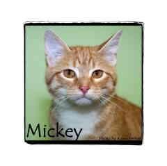 Domestic Shorthair Kitten for adoption in Warren, Pennsylvania - Mickey