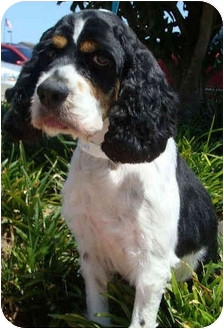 Cocker Spaniel Dog for adoption in Sugarland, Texas - Grant