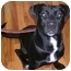 Photo 1 - Labrador Retriever/American Staffordshire Terrier Mix Dog for adoption in Long Beach, New York - Gia