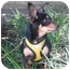 Photo 3 - Chihuahua Mix Puppy for adoption in Portland, Oregon - Honeydew