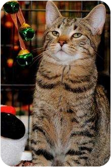American Shorthair Kitten for adoption in Harrisburg, North Carolina - Brigetta, Fanz