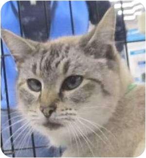 Siamese Cat for adoption in Muskogee, Oklahoma - Sabrina