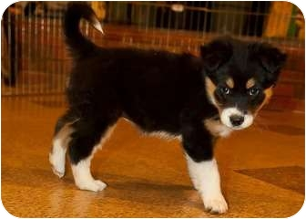 Border Collie Puppy for adoption in Denver, Colorado - Eden