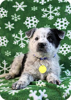 Australian Cattle Dog/Blue Heeler Mix Puppy for adoption in Westminster, Colorado - Galago