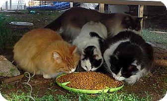 Domestic Shorthair Cat for adoption in Edmond, Oklahoma - Barn Cats
