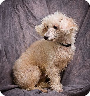 Poodle (Toy or Tea Cup) Dog for adoption in Anna, Illinois - BAXTER