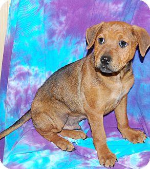 Redbone Coonhound/Hound (Unknown Type) Mix Puppy for adoption in Allentown, New Jersey - Grady