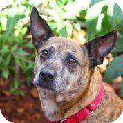 Cattle Dog/Catahoula Leopard Dog Mix Dog for adoption in Austin, Texas - Greta Garbo