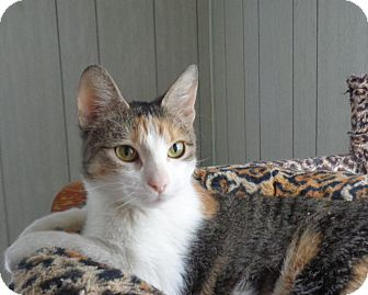Calico Cat for adoption in Minneapolis, Minnesota - Amelia