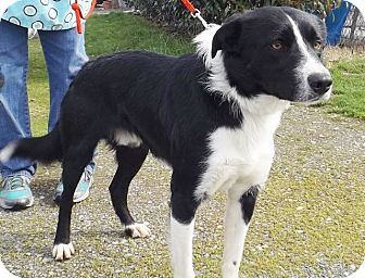 Border Collie Mix Dog for adoption in Grants Pass, Oregon - Sylvester