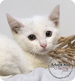 Domestic Shorthair Kitten for adoption in Troy, Ohio - Jackson
