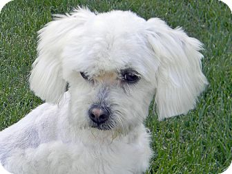 Maltese/Poodle (Toy or Tea Cup) Mix Dog for adoption in Mountain Center, California - Versace