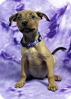 Boxer/Retriever (Unknown Type) Mix Puppy for adoption in Westminster, Colorado - Wharf