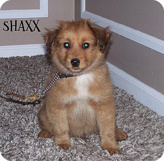 Sheltie, Shetland Sheepdog Mix Puppy for adoption in Milford, New Jersey - Shaxx