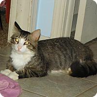 Adopt A Pet :: Rocky Raccoon - Bentonville, AR