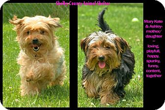 Yorkie, Yorkshire Terrier Dog for adoption in Sidney, Ohio - Mary Kate & Ashley