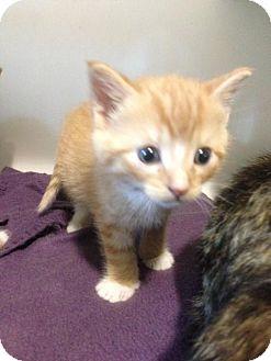 Domestic Shorthair Kitten for adoption in Hamilton, Ontario - OJ