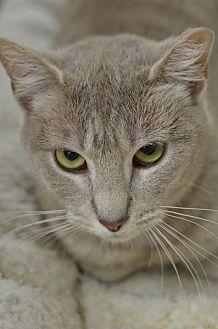 Domestic Shorthair Cat for adoption in Atlanta, Georgia - Krista150267