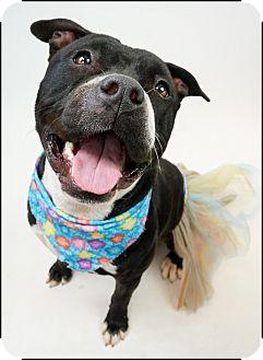 Staffordshire Bull Terrier/American Pit Bull Terrier Mix Dog for adoption in Phoenix, Arizona - Shana