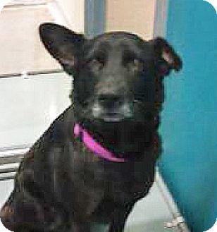Labrador Retriever Mix Dog for adoption in Spokane, Washington - Roxy
