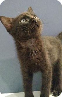Domestic Shorthair Kitten for adoption in West Des Moines, Iowa - Zeke