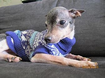 Italian Greyhound/Chihuahua Mix Dog for adoption in Tampa, Florida - OTIS (S&R KW)