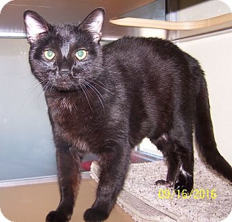 Domestic Shorthair Cat for adoption in Greeley, Colorado - Hobble