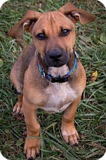 Beagle Mix Puppy for adoption in Fairfax, Virginia - Charlie