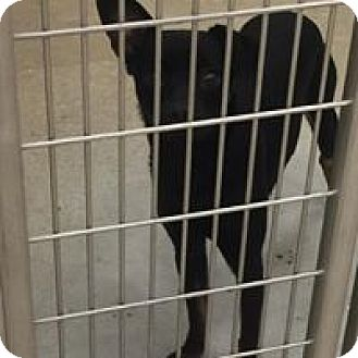 Rat Terrier Mix Dog for adoption in Humble, Texas - Taylor