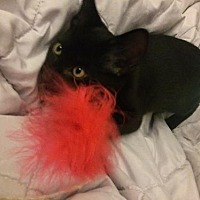 Domestic Shorthair Kitten for adoption in Los Angeles, California - Samantha