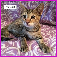 Adopt A Pet :: Strudel - Miami, FL