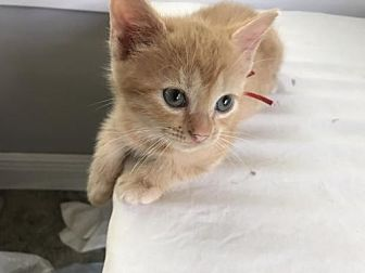 Domestic Shorthair Kitten for adoption in Orlando, Florida - Ruby