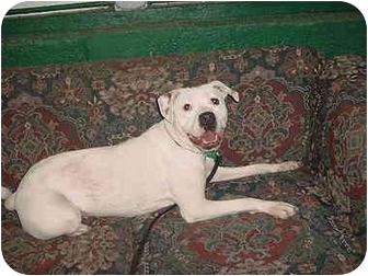 American Pit Bull Terrier Dog for adoption in chicago, Illinois - Willow