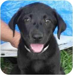 Labrador Retriever Mix Puppy for adoption in Daisy, Georgia - Sally