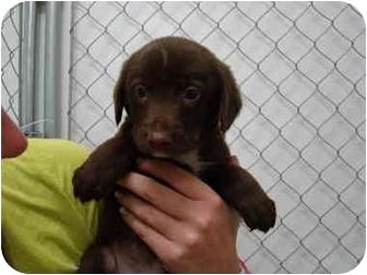 Labrador Retriever/Australian Shepherd Mix Puppy for adoption in Vandalia, Illinois - Dane