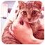 Photo 2 - American Shorthair Kitten for adoption in New York, New York - Dennis