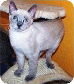 Domestic Shorthair Kitten for adoption in Las Vegas, Nevada - Fivel