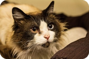 Siamese Cat for adoption in Warren, Michigan - Confucius