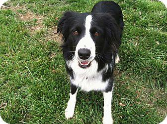 Australian Shepherd Dog for adoption in Salem, New Hampshire - ISA