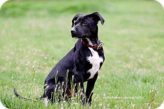 Labrador Retriever/Pointer Mix Puppy for adoption in Goldens Bridge, New York - Andy