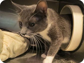 Domestic Shorthair Cat for adoption in Geneseo, Illinois - Sami Sue