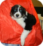 Bernese Mountain Dog/Great Pyrenees Mix Puppy for adoption in Antioch, Illinois - Geneva ADOPTION PENDING!!