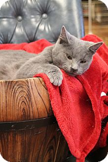 Domestic Shorthair Cat for adoption in Knoxville, Tennessee - Dusty