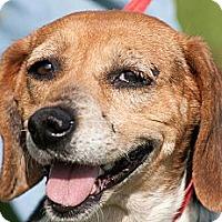 Adopt A Pet :: Annie - Scotland Neck, NC