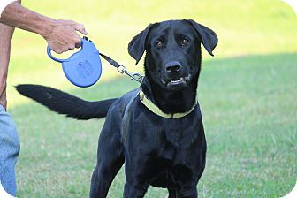 Labrador Retriever Mix Dog for adoption in Brattleboro, Vermont - Henry