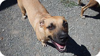 Pit Bull Terrier Mix Dog for adoption in Charleston, Arkansas - Goldie